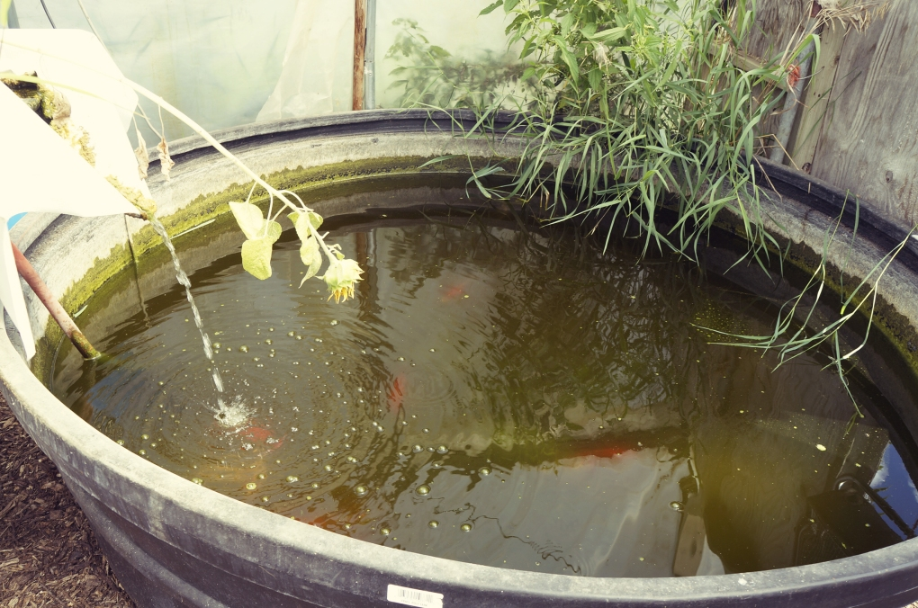 The fish poop is used to fertilize the little plants, or something. Ask me next week.